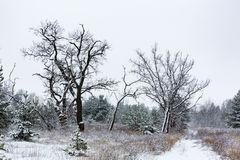 Trees in winter forest Royalty Free Stock Image