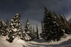 Trees in winter forest in the moonlight under the stars Royalty Free Stock Photo
