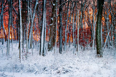 Trees in Winter 3. Forest at sunset after snowfall at Morton Arboretum, Lisle, Illinois Royalty Free Stock Photo