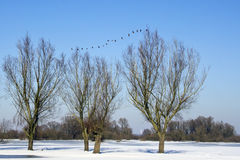 Trees in winter with geese Stock Photography