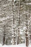 Trees in the winter just covered in snow Royalty Free Stock Photos