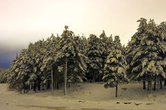 Trees in winter night. Winter coniferous forest, taken off at night Stock Photography