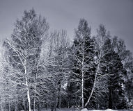 Trees in winter night Royalty Free Stock Photo