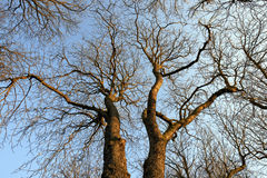 Trees in Winter. No leafs Royalty Free Stock Photo