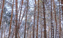 Trees in winter park. Pines covered with snow in a wood. Seasonal background. Trees in winter park. Pines cowered with snow in a wood. Seasonal background royalty free stock images