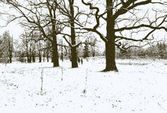 Trees in the winter park Royalty Free Stock Photo