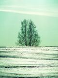 Trees in winter in Russia. The winter landscape is beautiful, and the trees (birch) look at the background of white snow, meadows and fields very picturesque Royalty Free Stock Photos