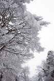 Trees in Winter Snow Stock Image