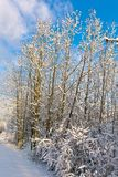 Trees in winter in snow Royalty Free Stock Photos