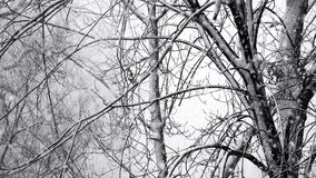 Trees, Winter, Snow, Christmas. Stock video during a blizzard stock footage