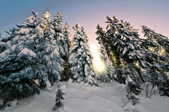 Trees in Winter. Snow covered fir trees in the early morning light Stock Photography
