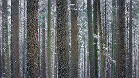 Trees In Winter With Snow Falling - Looped. Beautiful woodland scene of trees in snowfall. Looped for endless playback stock video footage