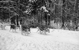 dogs dog team road winter snow cold day trees forest stock image