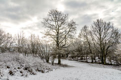 Trees in Winter After Snowfall Royalty Free Stock Photo