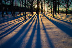 Trees in Winter. At sunset showing long shadows at Morton Arboretum in Lisle, Illinois Stock Images