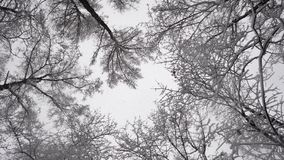 Trees in winter. And falling snow from the sky stock video footage