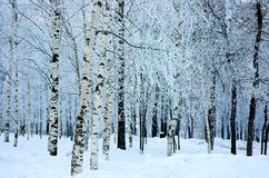 Trees in a winter wood Stock Images