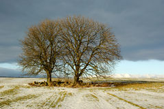 Trees in wintry field. Scenic view of two bare branched trees in icy field, winter scene Stock Photos