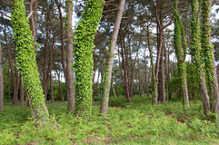 Trees With Vines In Woods Of Carnac, France Stock Images
