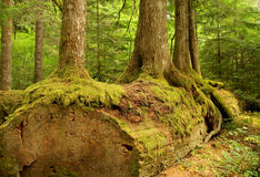 Trees of a wood. Trees growing from an old log in a lush forest setting Royalty Free Stock Photography