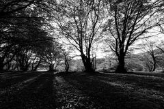 Trees in the wood with low sun filtering through and long shadows Royalty Free Stock Images