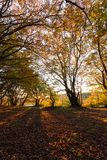 Trees in a wood with low sun filtering through, long shadows, a royalty free stock photo