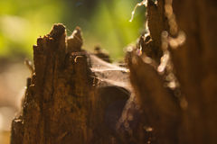 Trees wood spider web stump. Spiderweb on a stump in  summer evening Stock Photo
