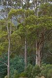 Trees in the woods. Of Australia stock images