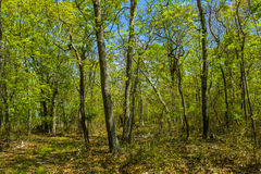 Trees in woods, East Hampton, New York Stock Image