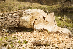 Trees in woods gnawed by beavers Stock Photos