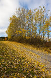 Trees in yellow. Trees with yellow folio by the road in autumn country with blue, partly cloudy sky Stock Photography
