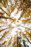 Trees with yellow leaves against the sky. Bottom view. Autumn Royalty Free Stock Photography