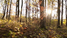Trees with yellow leaves. In autumn forest stock video footage
