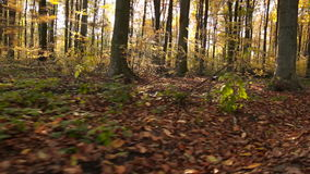 Trees with yellow leaves. In autumn forest stock footage