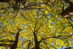 Trees with yellow leaves Royalty Free Stock Image