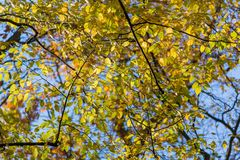 Trees with yellow leaves and blue sky upward view, Stock Photography