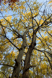 Trees with yellow leaves fall landscape Royalty Free Stock Images