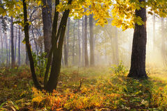Trees with yellow leaves in  forest Royalty Free Stock Image