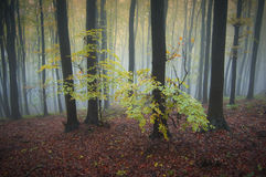 Trees with yellow leaves in a forest with fog in autumn Stock Image