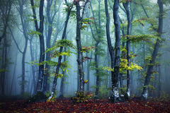 Trees with yellow leaves in a forest with fog Stock Photos