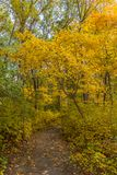 Path in the woods during peak Fall foliage. Trees with yellow leaves line this path in the woods in Seekonk Stock Photos