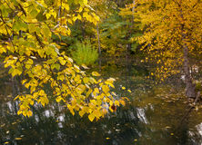 Trees with yellow leaves over a pool of water Royalty Free Stock Photos