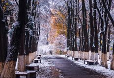 Trees with yellow leaves in the snow. Benches in the park in the snow Royalty Free Stock Photography