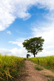 Trees in yellow rice harvest. Stock Photography