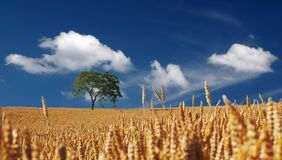 Trees on Yellow Wheat Field Under Blue Sky Royalty Free Stock Image