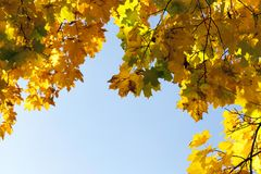Yellowed maple trees in the fall royalty free stock photos