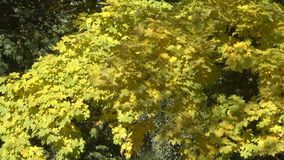 Trees in the autumn city park. Trees with yellowing leaves in the autumn city park seasonal features of nature stock video footage