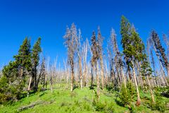 Trees in Yellowstone. A group of trees along the yellowstone river, Yellowstone National park, Wyoming Royalty Free Stock Photos