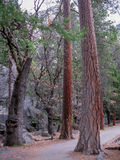 Trees in Yosemite Valley Royalty Free Stock Image
