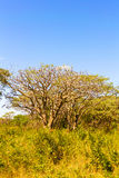 Trees in Zambia Royalty Free Stock Images
